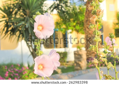 Pink Flowers at sun light. - stock photo