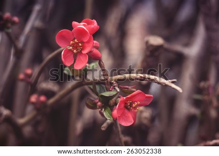 pink flowers blooming in spring  - stock photo