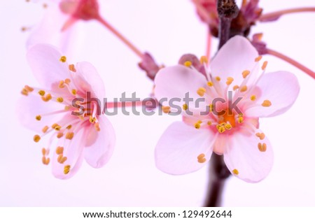 Pink flowers blossom at spring - stock photo