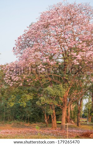 pink flowers blossom trees in the park - stock photo