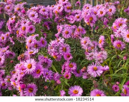 pink flowers bush closeup. outdoor daylight. shallow dof - stock photo