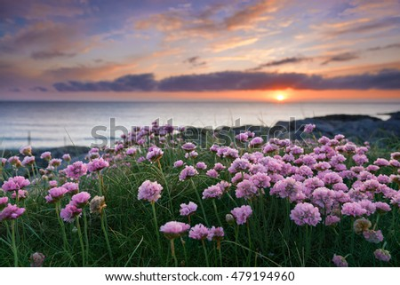 Pink flowers by the sea at sunset. Isle of Barra, Outer Hebrides of Scotland . ( * background blurred intentionally, focus on flowers * )