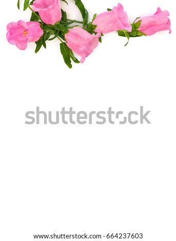 Pink flowers campanula medium common name stock photo 664237603 pink flowers campanula medium common name canterbury bells bell flower on a mightylinksfo Image collections