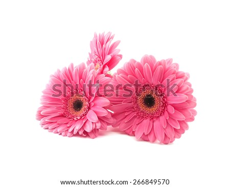 Pink flowers Gerbera isolated on a white background - stock photo