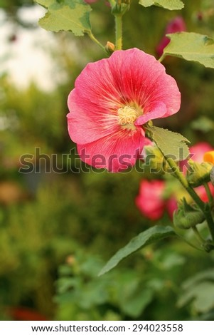 pink flowers in a nature at the garden - stock photo