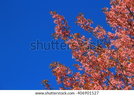 Pink flowers in thailand on blue sky background, Prunus cerasoides on blue sky background, Rosaceae, Prunus, Wild himalayan cherry in thailand on sky background
