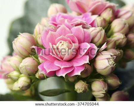 Pink flowers.Kalanchoe blossfeldiana. Houseplant. - stock photo