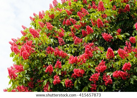 Pink flowers chestnut tree on spring stock photo 100 legal pink flowers of a chestnut tree on a spring day mightylinksfo