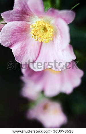 Pink flowers of a wild rose close up - stock photo