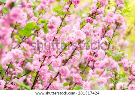 Pink flowers of an Oriental cherry blossom (sakura) in a springtime, natural flower background. - stock photo