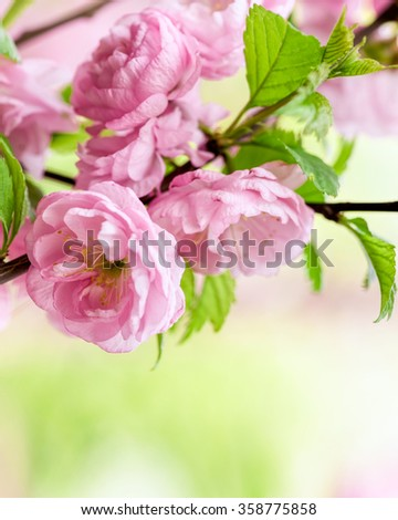 Pink flowers of an Oriental cherry blossom (sakura) in a springtime, soft focus, shallow DOF, close-up. Composition with copy space.  - stock photo