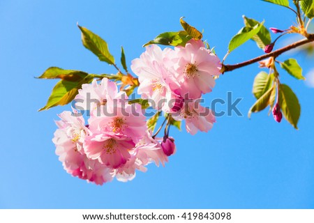 Pink flowers of cherry tree on bright blue sky background, closeup photo with selective focus - stock photo