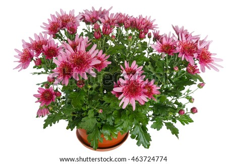 Pink flowers of Chrysanthemum plant with water drops isolated on white