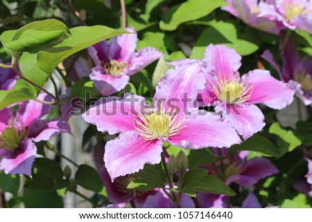 Pink flowers climbing clematis on sunny stock photo royalty free pink flowers of climbing clematis on a sunny day mightylinksfo
