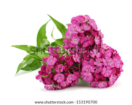 Pink flowers of Dianthus barbatus - Sweet William on a white background - stock photo