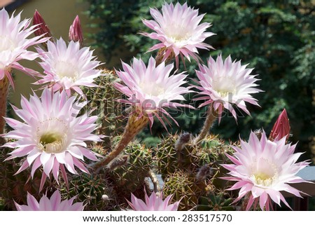 Pink flowers of Echinopsis cactus. This species blooms from late spring to all summer long, the flowers open before sunrise but last only one day in full beauty.  - stock photo