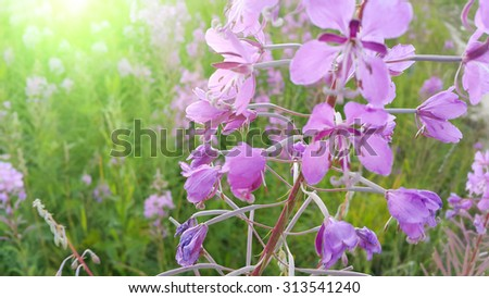 Pink flowers of fireweed (Epilobium or Chamerion angustifolium) in bloom - stock photo