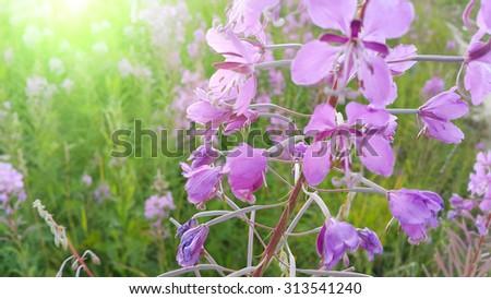 Pink flowers of fireweed (Epilobium or Chamerion angustifolium) in bloom - stock photo