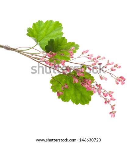pink flowers of heuchera isolated on white background - stock photo