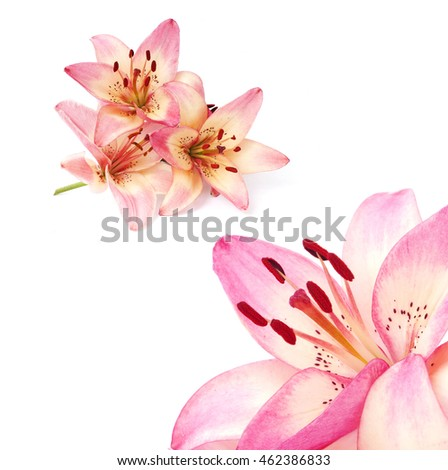 pink flowers of lilium