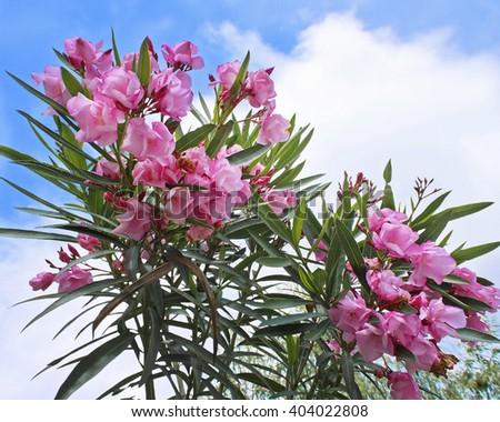 Pink flowers of oleander - stock photo