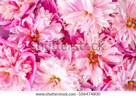 Pink flowers of peonies on wooden table