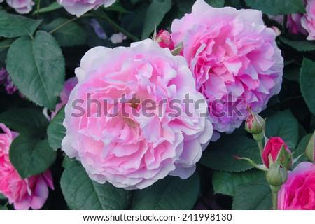 Pink flowers of Rosa Astrid Lindgren - stock photo