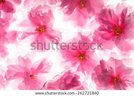 Pink flowers of sakura like a background - stock photo