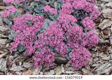 Pink flowers sedum causticola stonecrop succulent stock photo edit pink flowers of sedum causticola stonecrop a succulent groundcover that flowers in summer and mightylinksfo