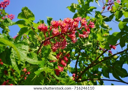 Pink flowers red horse chestnut tree stock photo royalty free pink flowers of the red horse chestnut tree aesculus mightylinksfo