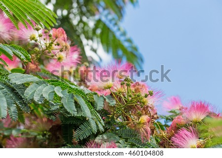 Pink flowers on  blooming Albizia julibrissin (Persian silk tree, pink silk tree) on blue sky background - stock photo