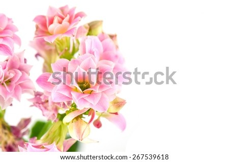Pink flowers on white background, Kalanchoe blossfeldiana. - stock photo