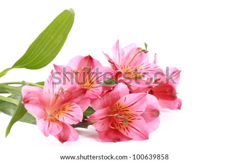 pink flowers over white background on Holiday theme