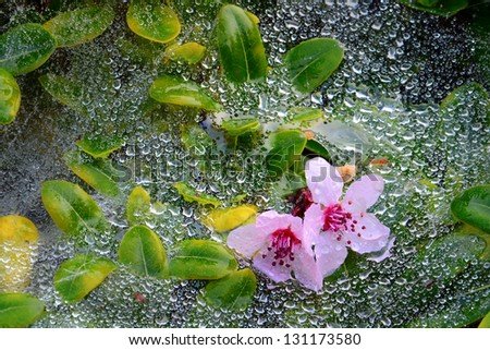 Pink flowers resting on web and green leafs covered in morning dew. - stock photo