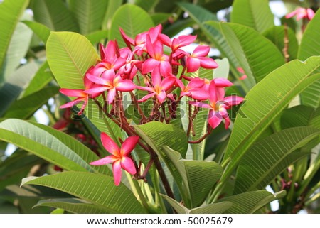 Pink flowers, Thailand. - stock photo