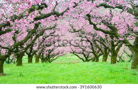 Pink flowers trees tunnel - stock photo