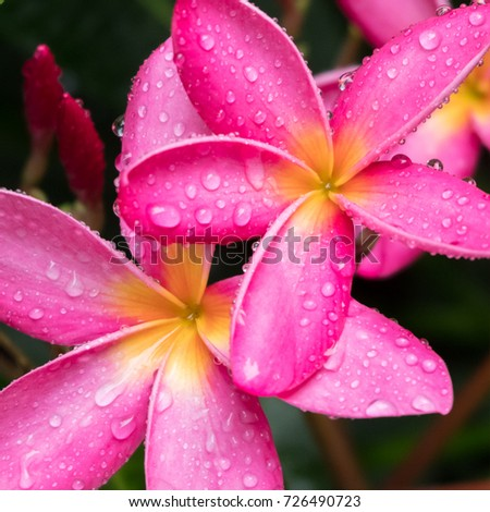 Pink flowers with rain drops in rainy season