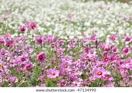 pink flowers with white flower background