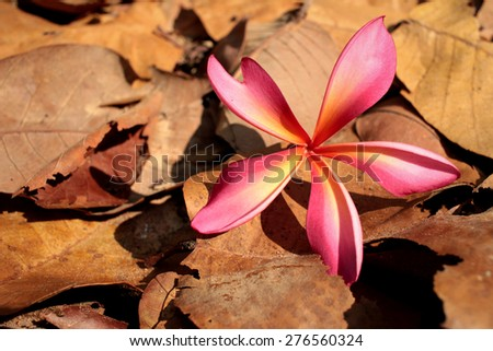 pink frangipani flower with the nature - stock photo