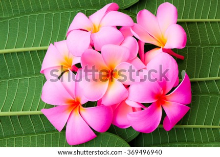 pink frangipani tropical flower, plumeria flower blooming on green Leaves