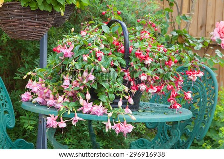 Pink fuchsia planted in a container resting on a garden table with hanging basket background
