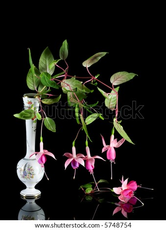 Pink fuchsias on black background.