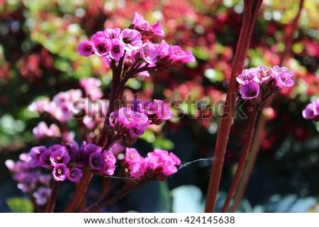 Pink garden flowers in bloom - stock photo