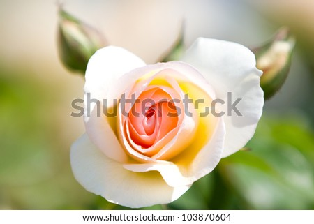Pink garden rose over green background - stock photo