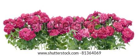 Pink garden roses border collage isolated