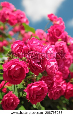 pink garden roses on the blue sky background