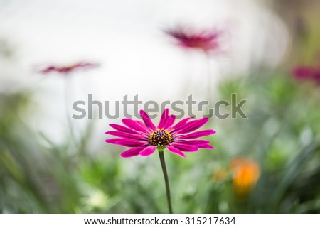 Pink Gazania flower close up background, shallow DOF , Soft & Dreamy Effect, Low Clarity - stock photo
