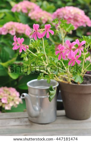 pink geranium in pot with metal can in garden  - stock photo