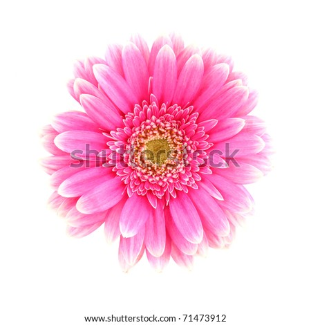 Pink gerber blossom, isolated on white background - stock photo