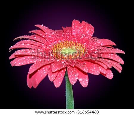 Pink Gerber Daisy - stock photo